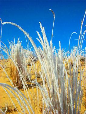 Алёшкинские пески. Ковыль