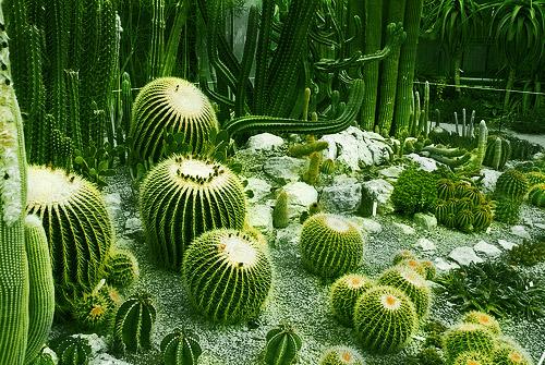 Никитский ботанический сад. Кактусы
