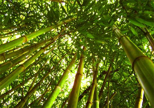 Никитский ботанический сад. Бамбук