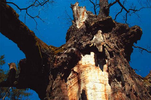 Дуб-патриарх самый старый дуб в Украине