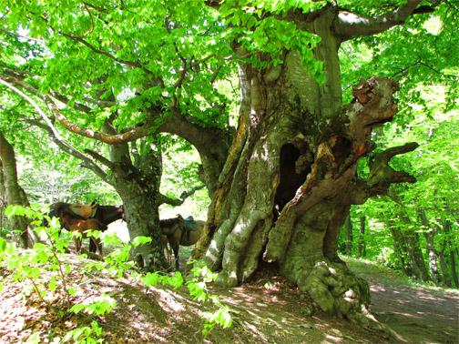 Урочище Демерджи, буковые деревья в лесу Демерджи
