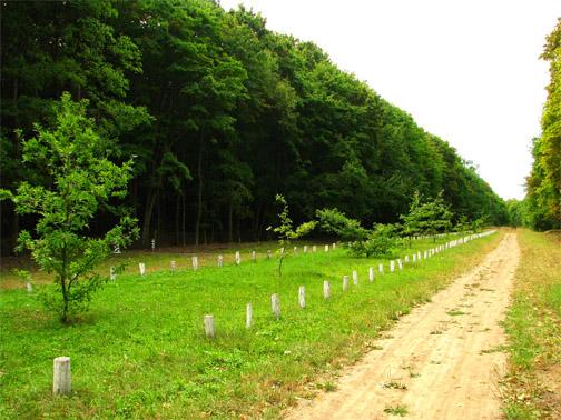 Кочубеевские дубы