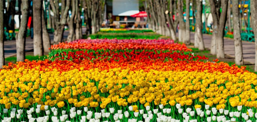 Тюльпаны в Дендропарке