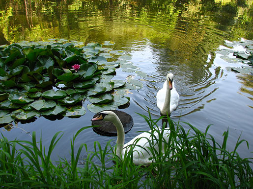 Лебеди в Краснокутском дендропарке