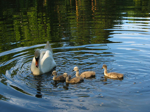 Лебеди в парке Тростянец