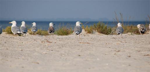 Чайки на берегу острова Джарылгач